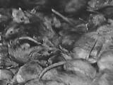 """""""Wo Ratten auch auftauchen, tragen sie Vernichtung ins Land, zerstören sie menschliche Güter und Nahrungsmittel. […]"""""""